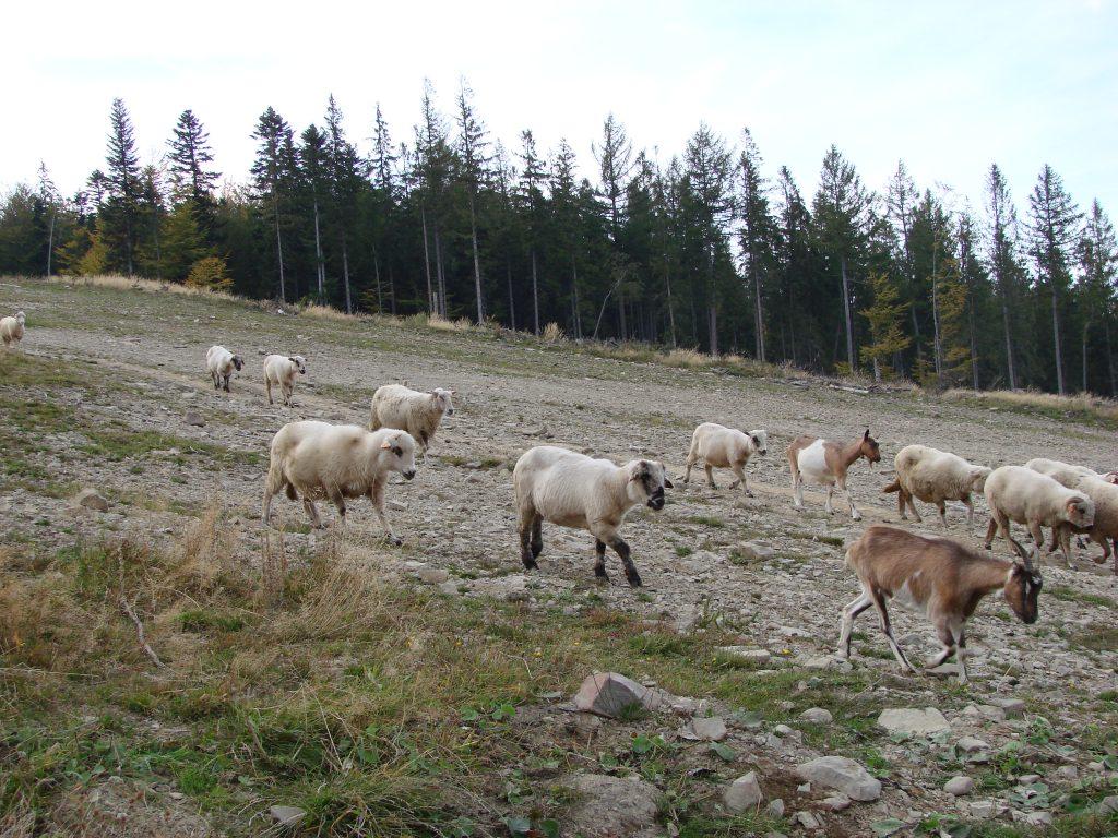 Z tymi owcami, naprawdę nie żartujemy:D