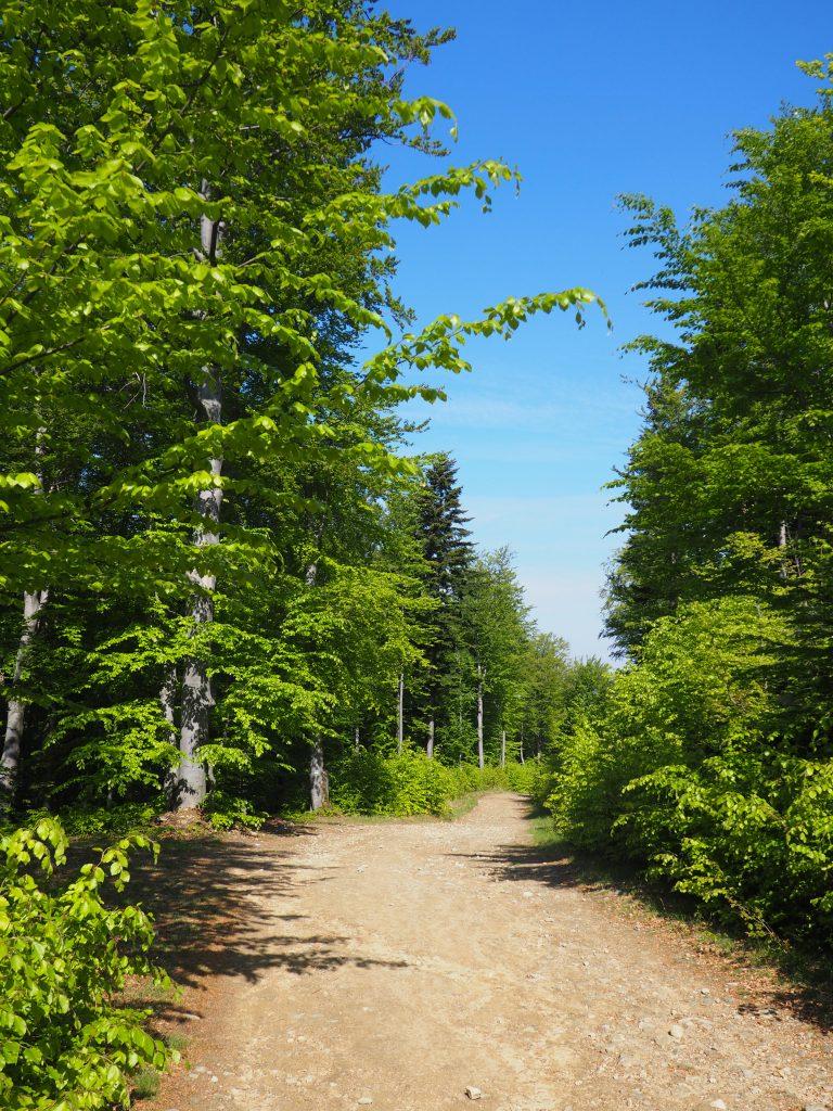 Buczynowy las