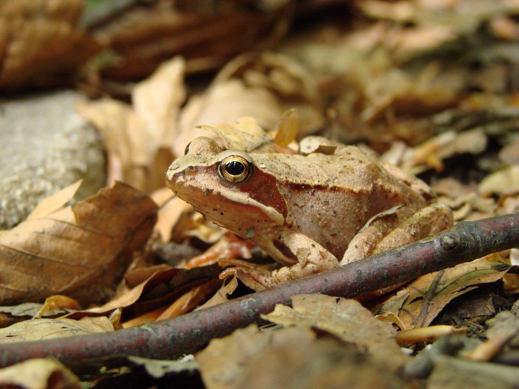 Żaba pod Wielką Rawką