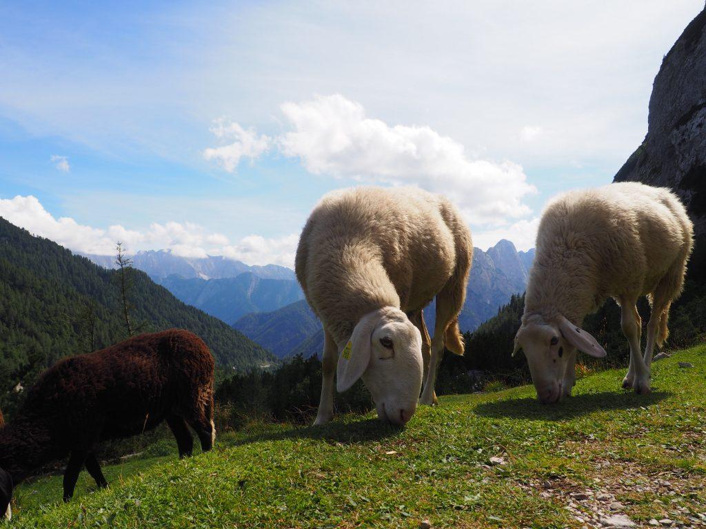 Owce w Alpach Julijskich to powszechny widok:)