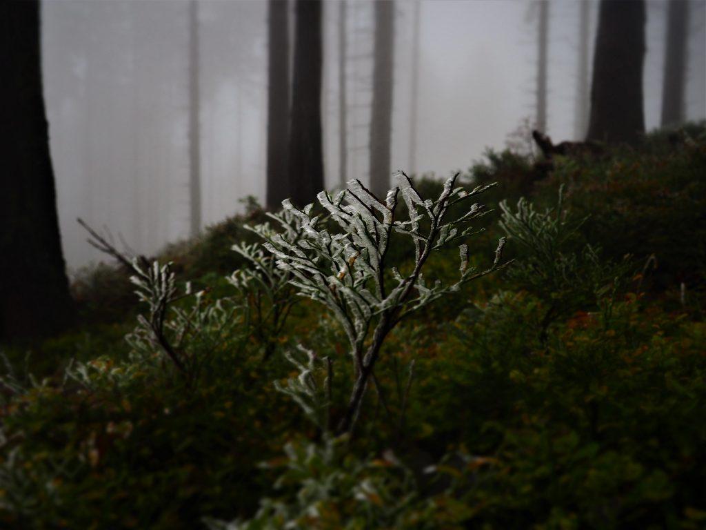 Oszronione krzewy
