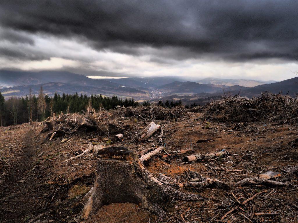 Wycięty las pod Zlaty Chlum
