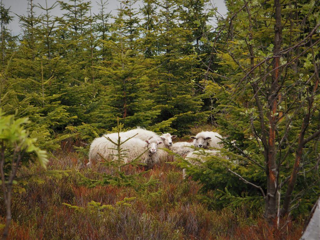 Owce i barany ukryte w zaroślach