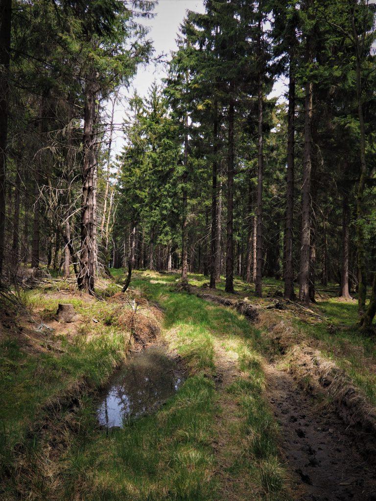 Leśna ścieżka do Gniewoszowa