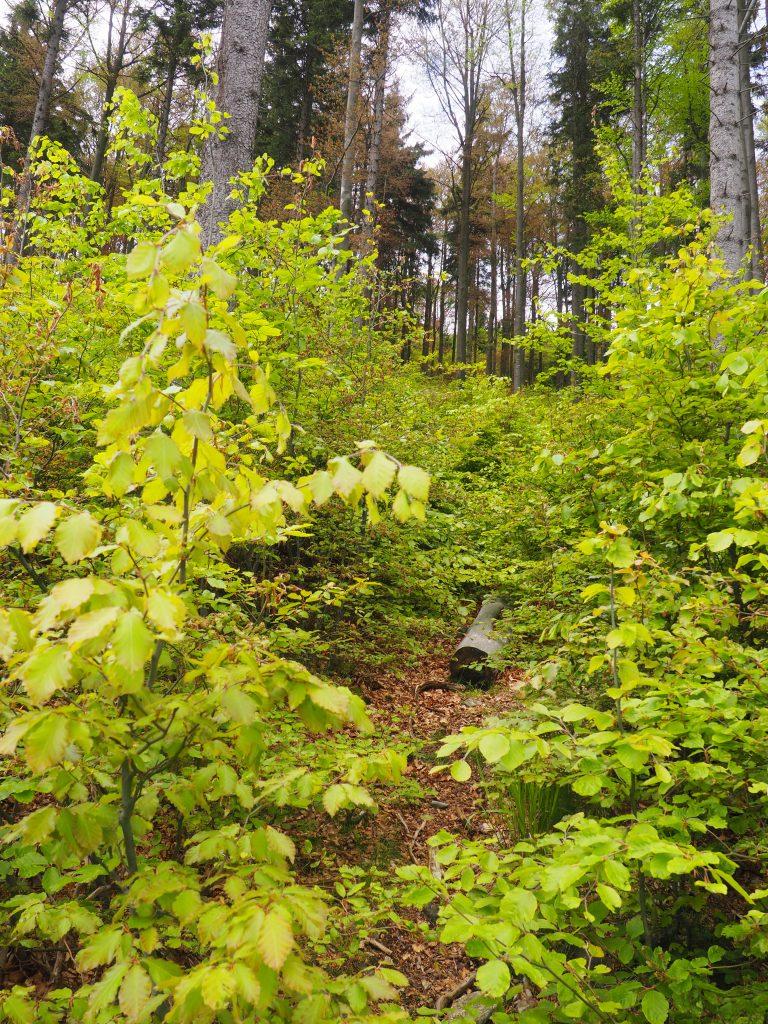 Zarośnięta ścieżka na Łysiec